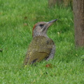 green_woodpecker_juvenile